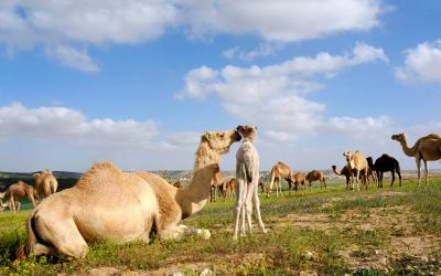 Exciting News About Camel Milk